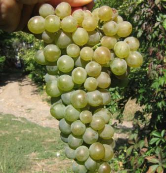 foto-sorta-vinograda-dunavski-lazur
