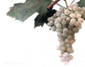 foto-sorta-vinograda-ekaterinodarskij