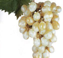 foto-sorta-vinograda-italiya
