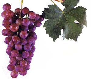 foto-sorta-vinograda-zorevoj