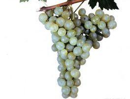 sort-vinograda-ag-izyum