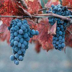 foto-sorta-vinograda-kaberne-severnyj