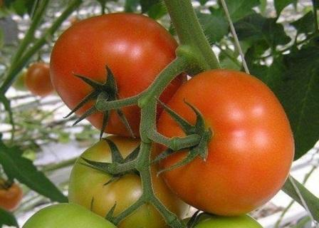 foto-sorta-tomata-pomidora-admiro