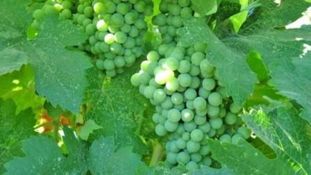 foto-sorta-vinograda-kasparovskij