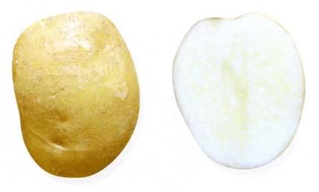 foto-sorta-kartofelya-prizyor