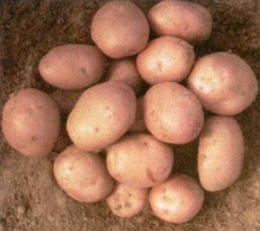 foto-sorta-kartofelya-ryabinushka