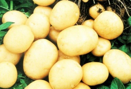 foto-sorta-kartofelya-fokinskij