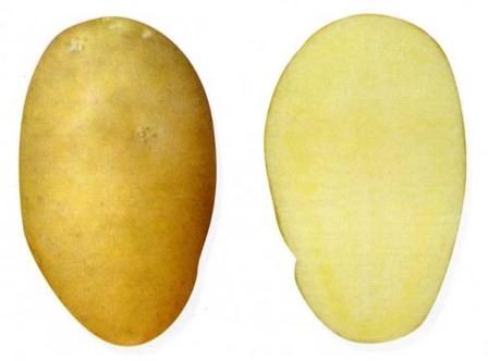 foto-sorta-kartofelya-tuleevskij