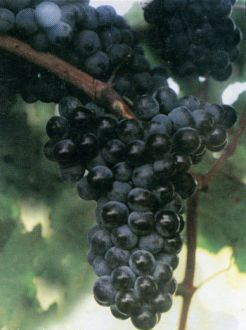 foto-sorta-vinograda-krasnostop-anapskij