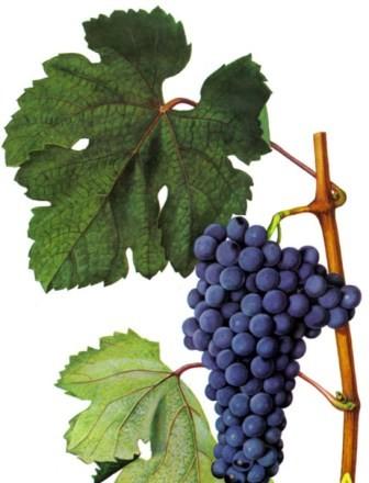 foto-sorta-vinograda-krasnostop-zolotovskij