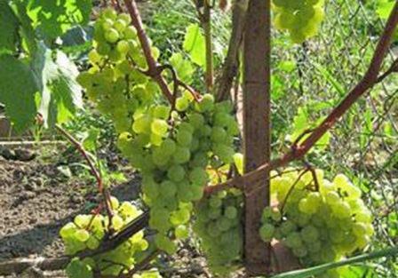 foto-sorta-vinograda-madlen-ananasnyj