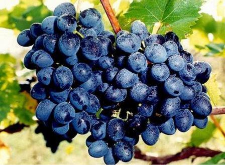 foto-sorta-vinograda-moldova