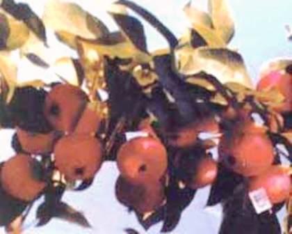 foto-sorta-yabloni-slava-buryatii-bajkal-izobilnyj